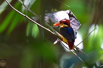 Black-Backed Kingfisher at Kaeng Krachan