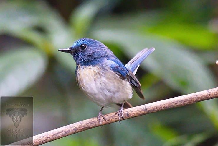 Hainan-Blue Flycatcher at Mae wong NP