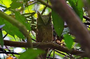 White-fronted Scops Owl at Kaeng Krachan