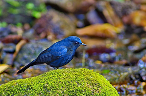 White-Tailed Blue Robin at Mae Wong