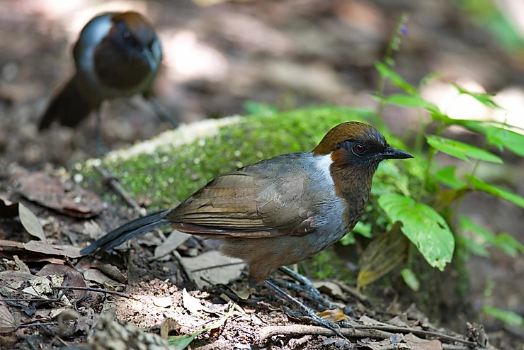 White-necked Laughingthrush at Mae Wong NP