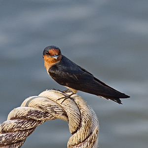 Swallows and Martins