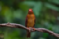 Ruddy Kingfisher.webp