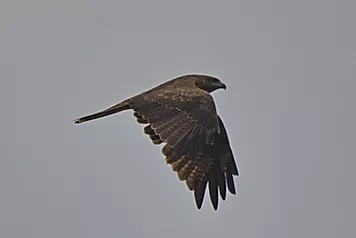 Phetchaburi Rice Fields-Black Kite.