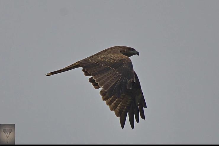 Black Kite at Pak Phli