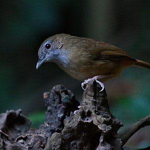 Babblers and Scimitar Babblers