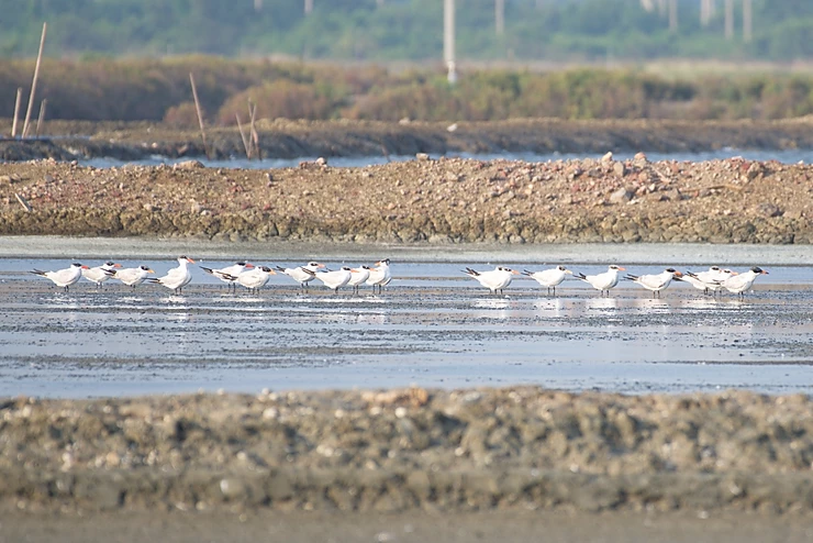 Caspian Terns at Pak Thale