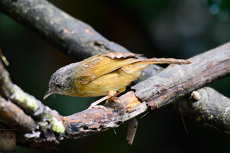 Brown Cheeked Fulvetta at Kaeng Krachan NP
