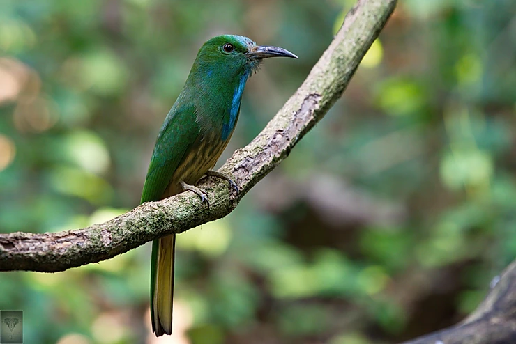 Blue Bearded Bee-Eater at Phu Toei NP