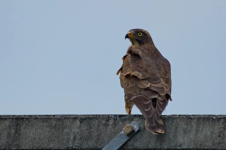 Grey-faced Buzzard at Kaeng Krachan