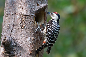 Freckle-breasted Woodpecker (Dendrocopos analis)
