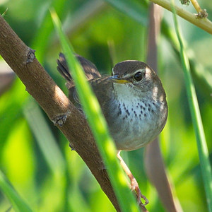 Reed Warblers, Grassbirds and