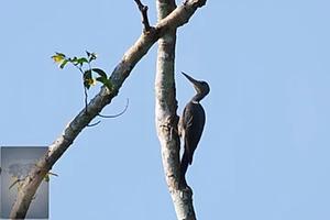 Great-Slaty Woodpecker at Kaeng Krachan
