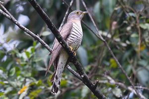 Indian Cuckoo at Kaeng Krachan