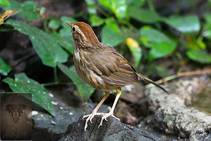 Puff-Throated Babbler at Kaeng Krachan NP