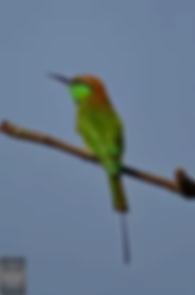 Phetchaburi Rice Fields-Green Bee-Eater.