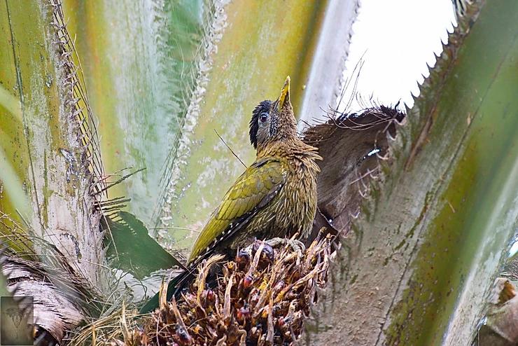 Streak-Breasted Woodpecker at Ao Phang Nga