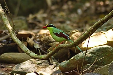 Green Magpie at Kaeng Krachan