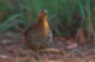 Mountain Bamboo Partridge_.webp