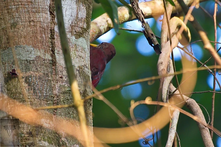 Maroon Woodpecker (Blythipicus rubiginosus)