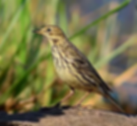 Pak Phli-Red-Throated Pipit.