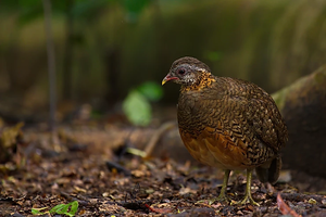 Scaly-Breasted Partridge at Ratchaburi