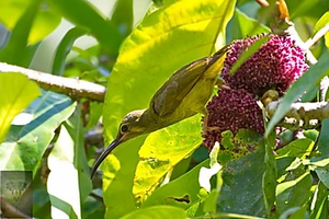 Yellow-Eared Spiderhunter at Krung Ching