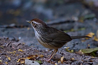 Puff-throated Babbler at Kaeng Krachan