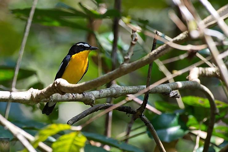 Yellow-rumped Flycatcher at Kaeng Krachan
