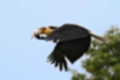 Chaloem Phrakiat NP-Wreathed Hornbill.