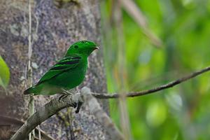 Green Broadbill at Hala Bala