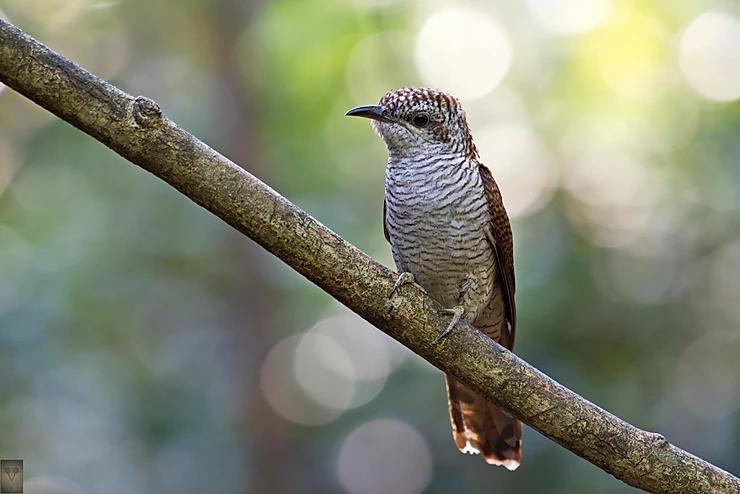 Banded Bay Cuckoo at Kaeng Krachan