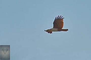 Brahminy Kite at Pak Thale