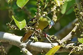 Huai Kha Kaeng WS-Thick-Billed Green Pigeon.