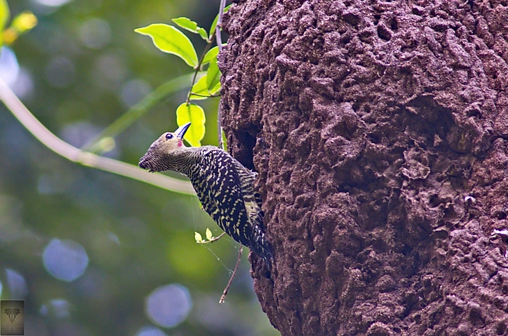Buff-rumped Woodpecker (Meiglyptes grammithorax)