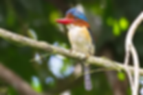 Khao Sok National Park-Banded Kingfisher.