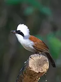 Nam Nao NP-White-Crested Laughingthrush.