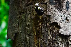 Black-and-buff Woodpecker (Meiglyptes jugularis)