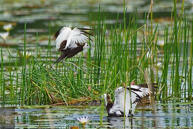 Pheasant-Tailed Jacana