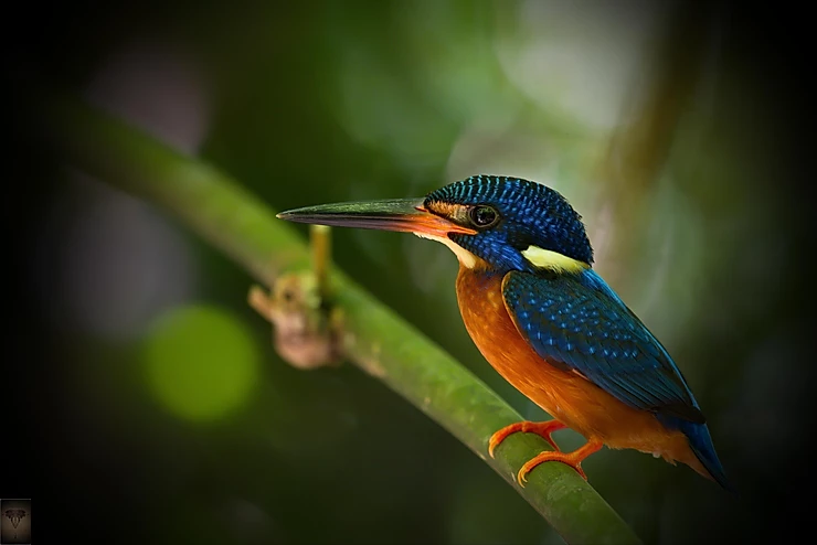 Blue-eared Kingfisher.     (Alcedo meninting)
