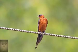 Striated Swallow at Ao Phang Nga