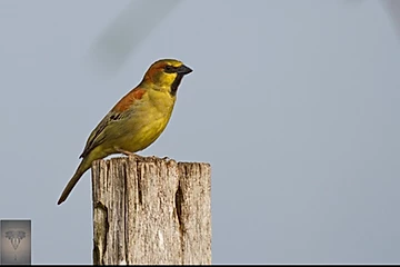 Plain-backed Sparrow at Pak Phli