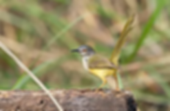 Yellow-Bellied Prinia.webp