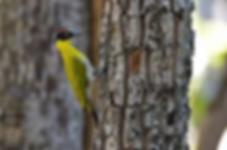 Huai Kha Kaeng WS-Black-Headed Woodpecker.