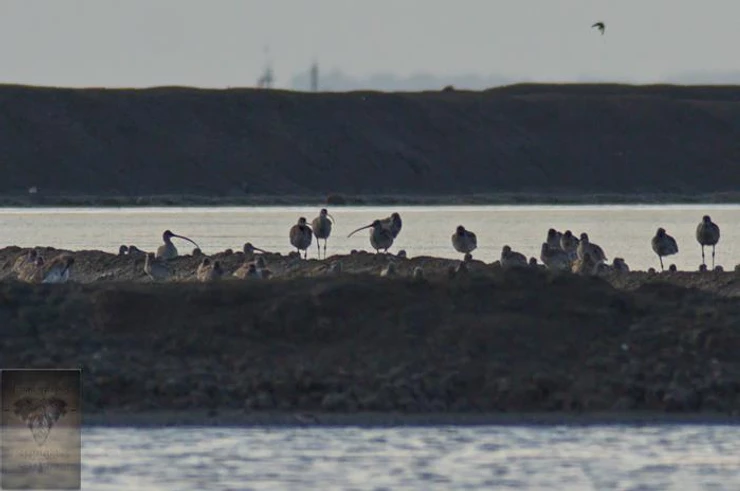 Eurasian Curlews at Pak Thale
