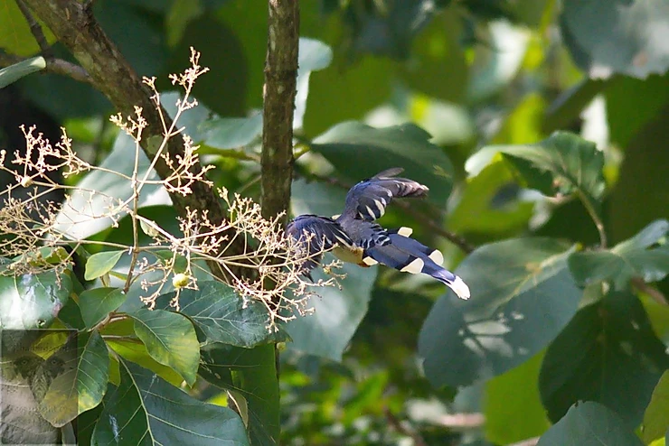 Red-Billed Blue Magpie at Mae Wong NP