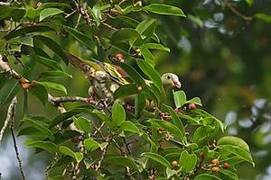 Thick-billed Green Pigeon at Kaeng Krachan