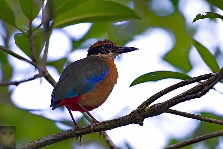 Mangrove Pitta at Ao Phang Nga