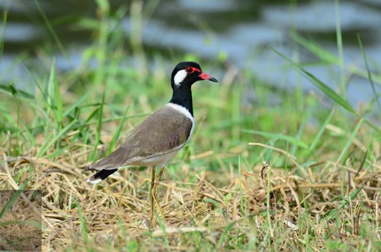 Red-wattled Lapwing at Puttamonton Park