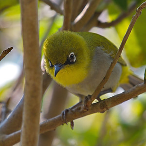 Yuhinas and White-eyes